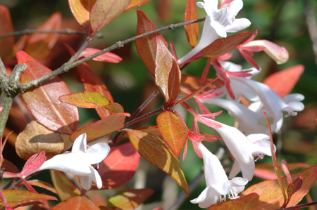 Abelia &#8216;Edward Goucher&#8217;